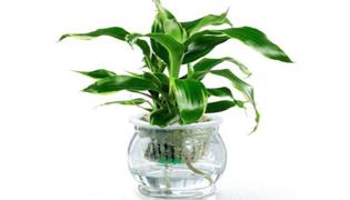 最适合室内水养的植物
