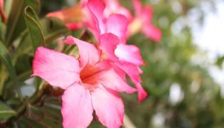 沙漠玫瑰叶子能喷水吗