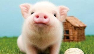 荷兰猪爱你的表现