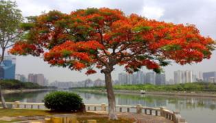 厦门市和台南市的市树都是什么
