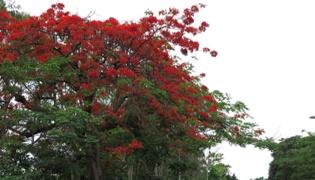 厦门和台南的市树是什么