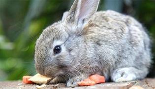 兔子肚子胀气怎么排气