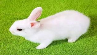 兔子出汗的部位在哪块