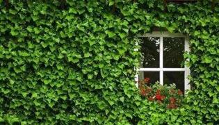 客厅绿萝如何固定墙上