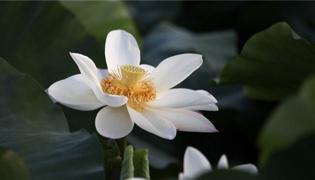 戛萨珑花是什么花