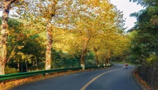 秋天梧桐树的品种有哪些