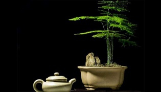 文竹剪枝和繁殖要注意什么