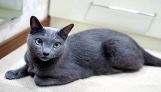 蓝猫怎么养胖