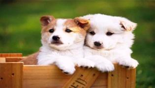 狗狗运动量过大的后果是什么