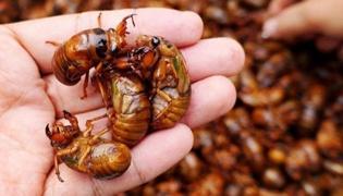 金蝉野生和养殖的有什么区别