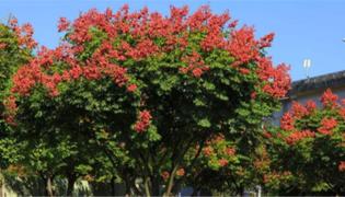 栾树的作用与价值分别是什么