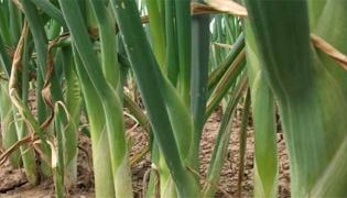 大葱的种植方法和时间分别是什么