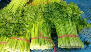 西芹种植技术和种植时间分别是什么