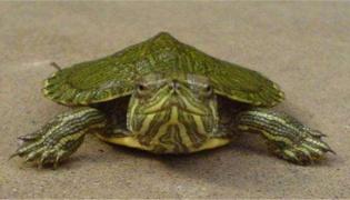乌龟一般养单还是双