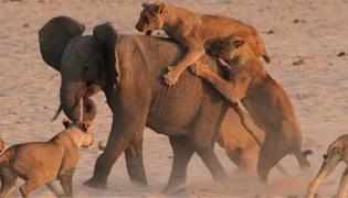 狮子和大象相比谁厉害