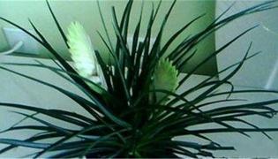 铁兰变绿如何剪