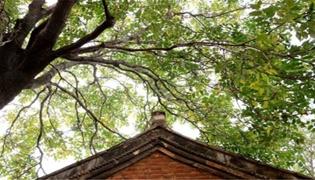 栽棕樹的禁忌是什么