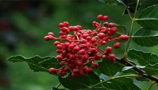 大紅袍花椒和花椒的區別是什么