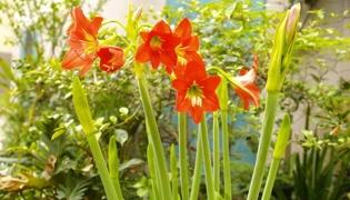 劍蘭一年會開多少次花
