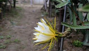 火龙果开花前有什么征兆
