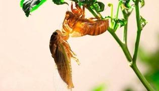 金蝉的种植方法和时间是什么