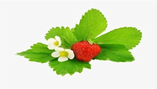 草莓移栽需要活留几片叶子