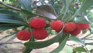 喜梅指的是什么水果