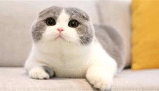 母猫喂奶气喘是因为缺钙吗