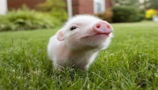 猪瘟疫情的控制措施