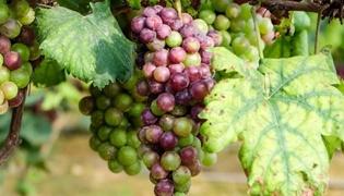 种植葡萄开始于什么朝代