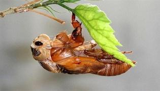 野生金蝉和养殖金蝉的区别是什么