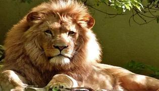 狮子需要几年才能成年