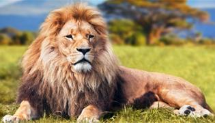 公狮子脖子上的毛叫做什么