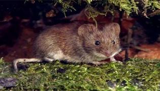 刚出生野老鼠可以养吗