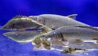 松江鱼是什么鱼