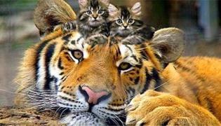 母老虎和公老虎的区别