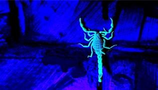 抓蝎子为什么用紫色灯