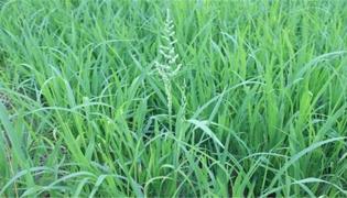 千金子与稗草的区别是什么
