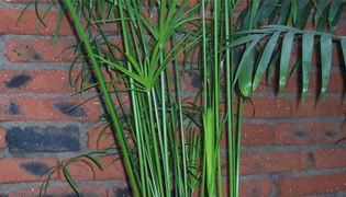 节节高竹子如何养