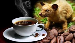 貓屎咖啡收集于哪種貓