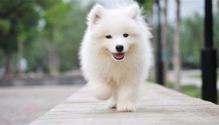 神犬小七中的小雪属于什么品种的狗