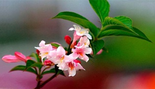 五彩锦带花冬天落叶吗