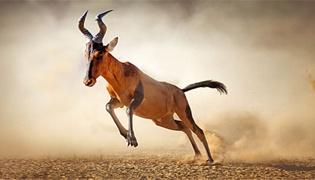 羚羊和狮子谁跑得更快