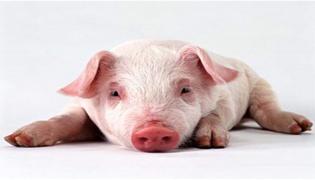 非洲猪瘟是一种什么病毒