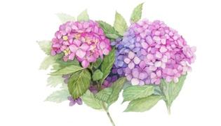 绣球花怎么种植