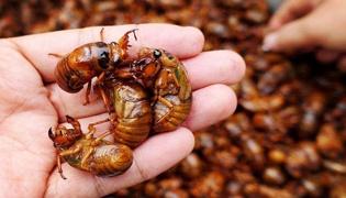金蝉的养殖技术是什么