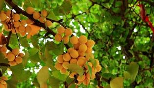 银杏的叶和果都有什么药用价值