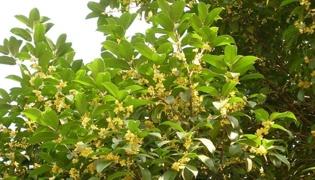 秋季桂花扦插生根最快的方法是什麼