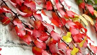 秋天的爬山虎到底是什么样的