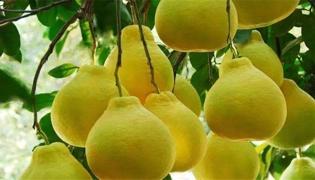 柚子枝定干干高距离多宽